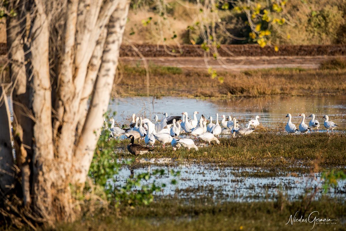 Oies des neiges et bernaches dans un étang de Cibola le long de Canada Goose Drive