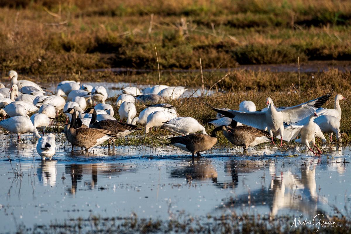 Bernaches et oies des neiges le long de Canada Goose Drive à Cibola National Wildlife Refuge