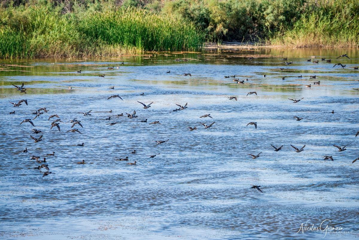 Bernaches du Canada (oies) en vol à Imperial National Wildlife Refuge