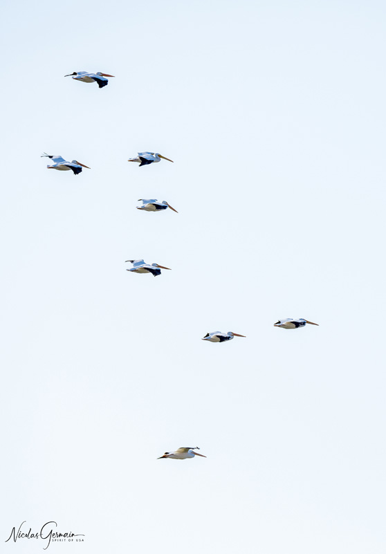 Pélicans en vol au-dessus d'Imperial National Wildlife Refuge, Arizona