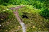 Un ours noir traverse le sentier Harding Icefield Trail, Kenai Fjords