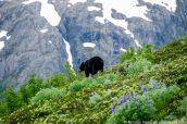 Un ours noir sur les pentes de Harding Icefield Trail, Kenai Fjords, Alaska