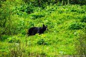 Une ourse noire surveille son petit près du sentier Harding Icefield Trail, Alaska