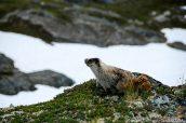 Une marmotte des Rocheuses en haut de Harding Icefield Trail, Alaska