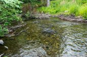 Saumons dans une rivière de la péninsule Kenai, Alaska