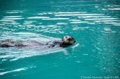 Une loutre nage dans le port de Seward, Alaska