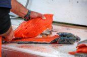 Un saumon à la chair appétissante, Seward, Alaska