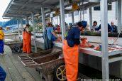 Découpe du saumon sur les docks du port de Seward à Resurrection Bay, Alaska