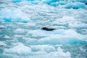 Un phoque intrigué par notre bateau à Sawyer Glacier, Alaska