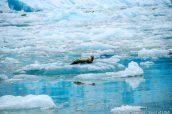 Petite sieste sur un iceberg pour ce phoque près de Sawyer Glacier, Alaska