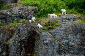 Une famille de chèvres des montagnes escaladent les pentes rocheuses de Tracy Arm, Alaska