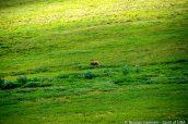 Un grizzli, au loin, dans les plaines de Denali National Park