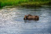 Un orignal de Denali prenant son bain