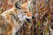 Un coyote au regard malin près de Tower-Roosevelt, Yellowstone National Park