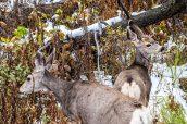 Deux mule deers à la recherche de nourriture, Yellowstone National Park