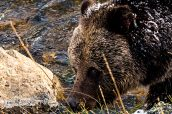 Un grizzly sur ses gardes le long de Madison River, Yellowstone National Park