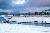 Troupeau de bisons dans les plaines enneigées le long de Madison River, Yellowstone National Park