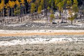 Plusieurs loups noirs et un loup blanc dans les plaines de Lamar Valley, Yellowstone National Park