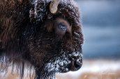 Un bison avançant lentement dans la neige le long de Madison River, Yellowstone National Park