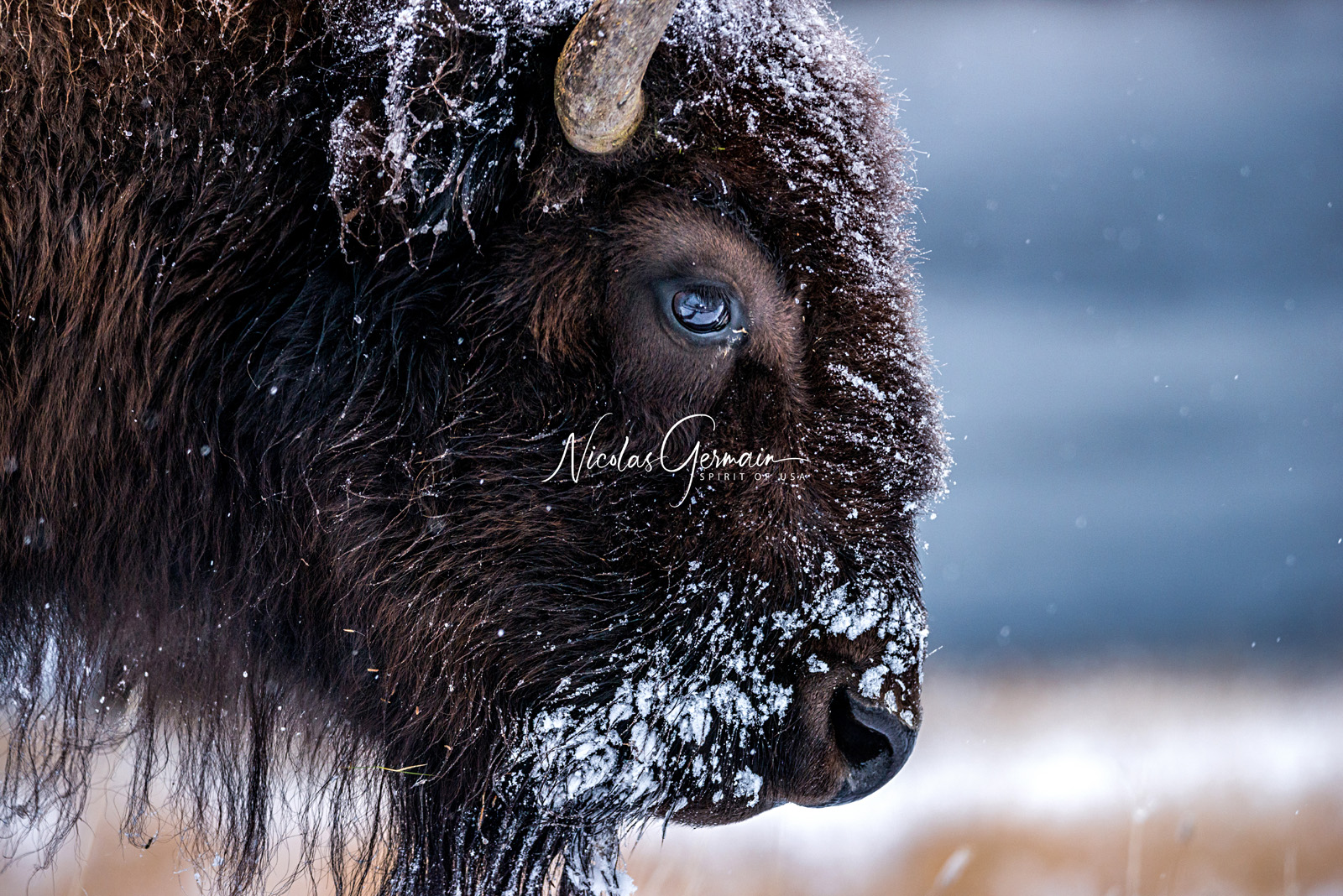 Bison à Yellowstone - Nicolas Germain, Spirit of USA