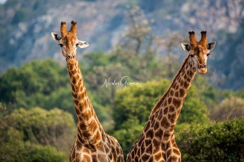Girafes - Nicolas Germain, Spirit of USA