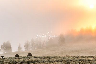 L'aube des bisons, Yellowstone - Nicolas Germain, Spirit of USA