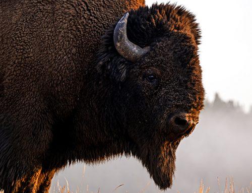 Yellowstone : quels animaux sauvages peut-on voir et photographier ?