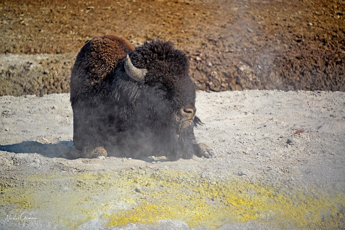 Un bison profite de la chaleur d'une source chaude à Yellowstone