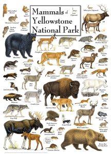 Les différents mammifères de Yellowstone