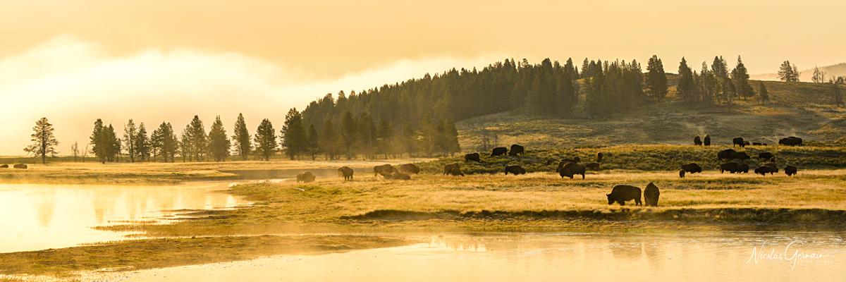 Bisons à la lumière du lever de soleil dans le parc de Yellowstone