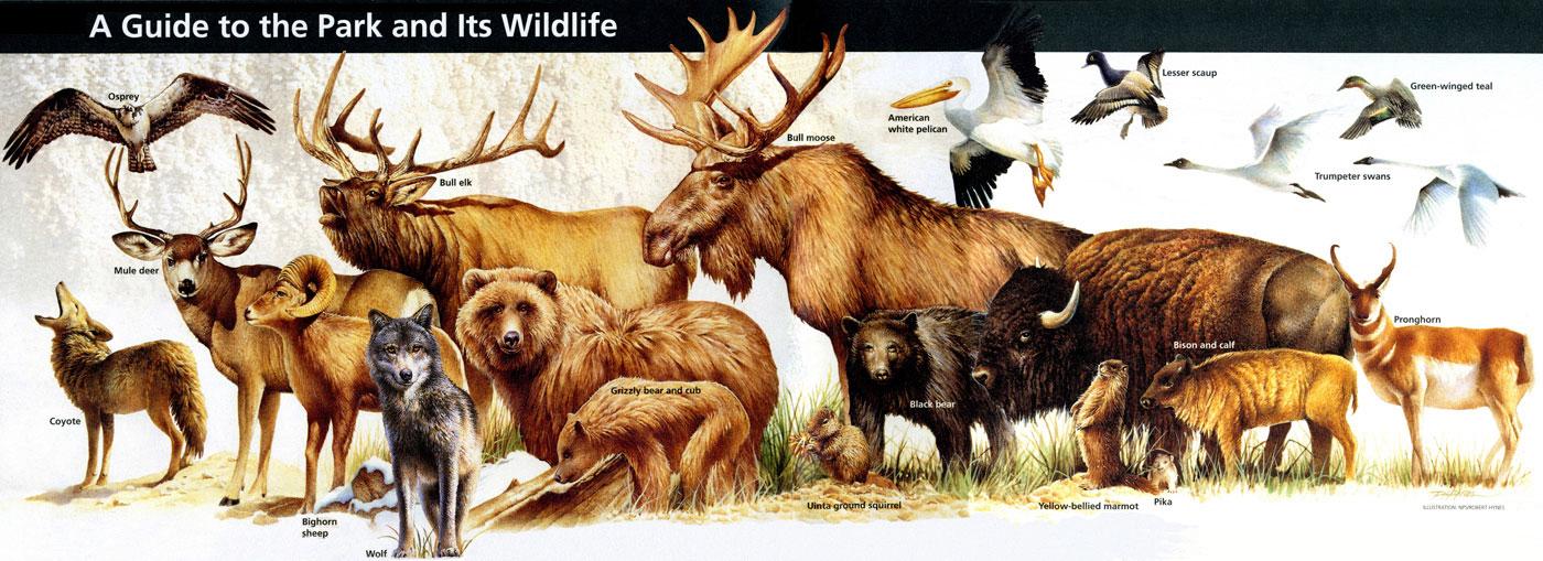 Le Big Nine de Yellowstone et autres animaux à observer