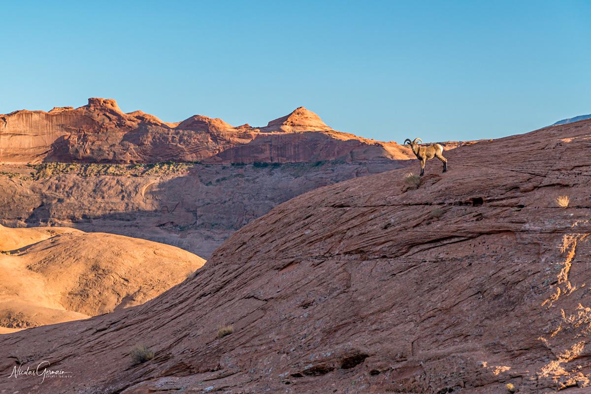 Un bighorn nous souhaite la bienvenue à quelques minutes de notre arrivée à Reflection Canyon